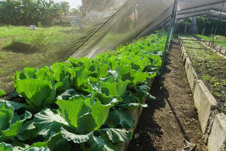 organic horticulture, growing healthy vegetables on garden Imagens