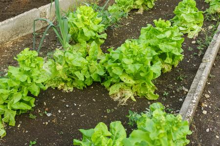Organic lettuce in the garden