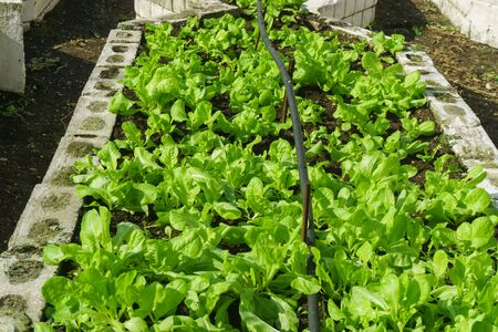 lettuce in the garden. Organic green herbs and vegetables on a bed in the garden.