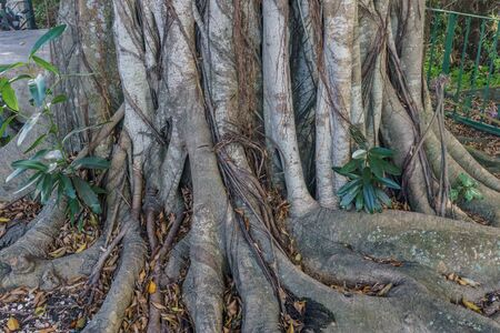 big tree roots detail