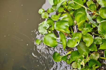 The water hyacinth is floating on the water Stock Photo