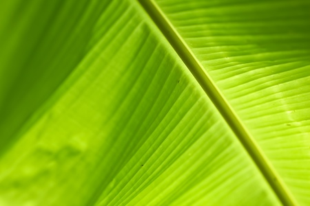 The background of the green banana leaf Stock Photo