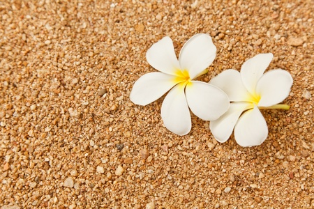 Two Plumeria flowers on the pebble ground