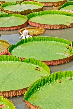 The Group of Victoria Waterlily floting on the water photo