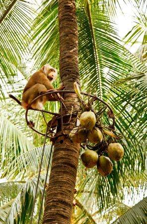 The traditional use of the Pig-tailed monkey for the harvest of coconuts