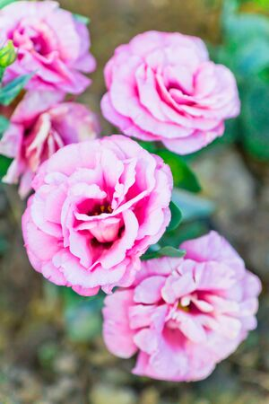 The close up image of pink roses in natural environment photo