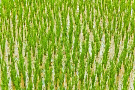 Le champ de riz � la campagne de la Tha�lande
