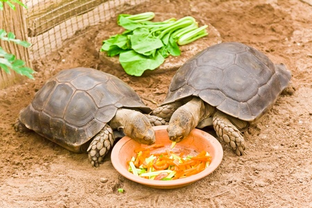 Two Big Turtles are eating the vegetables Banque d'images