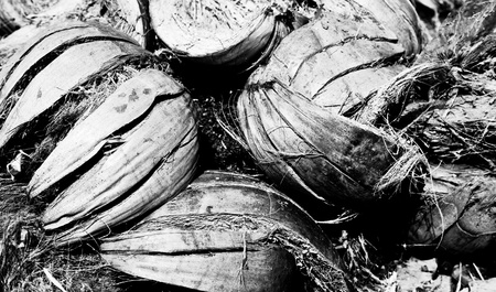 The black and white closeup image of the pile of abandoned coconut shell photo