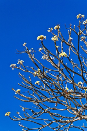 The branches of Plumeria flower with the clear blue sky photo