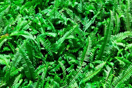 clump: The background image of the clump of the green fern Stock Photo