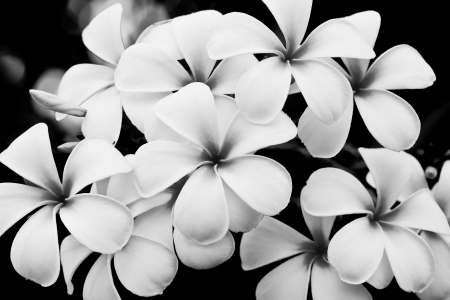 The black and white image of the Plumeria flowers photo