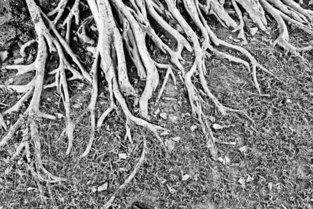 The black and white image of the root of a big tree and some grass on the ground