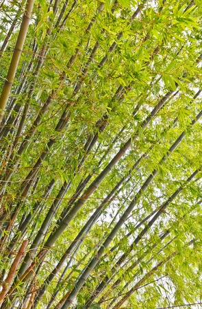 A group of green bamboo in the countryside, Uthaitani province, Thailand