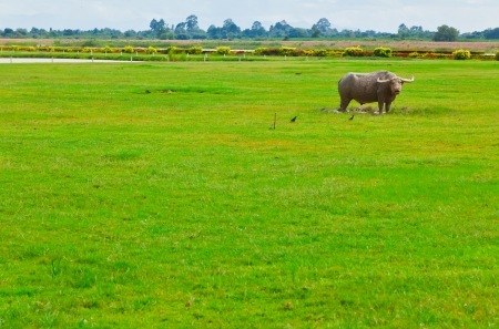 A buffalo stands in the green field