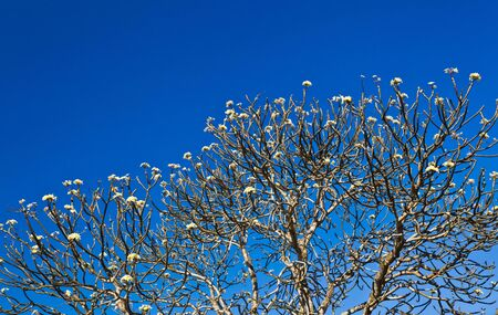The Plumeria tree with the clear blue sky