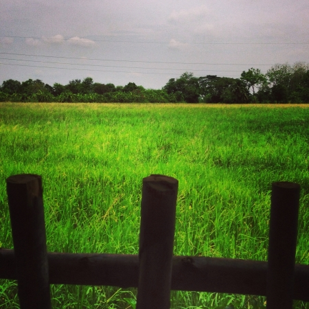 The green rice field