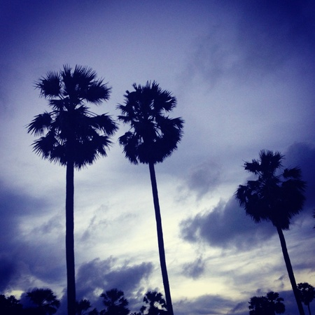 The toddy palms in the evening