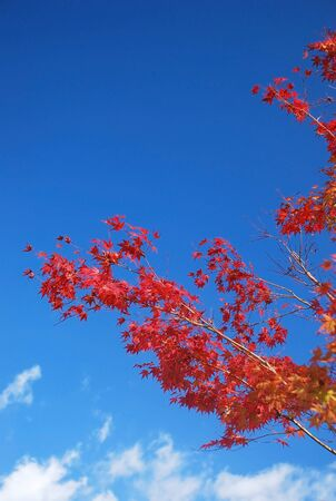 red maple on blue sky background photo