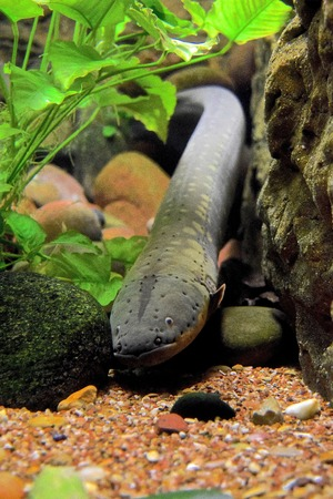 an electric eel lays still, stretched out along the rocky bottom of its tank at the dallas world aquarium