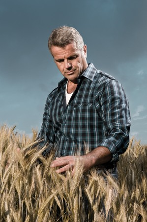 Satisfied mature farmer touching with care his ripe wheat field before the harvest, dramatic light photo