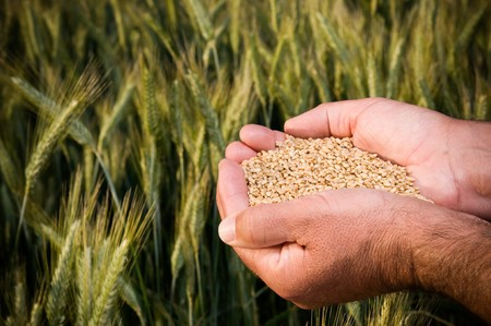 seeding: Farmer hands full of ripe wheat seeds in front of yellow field ready for the harvest