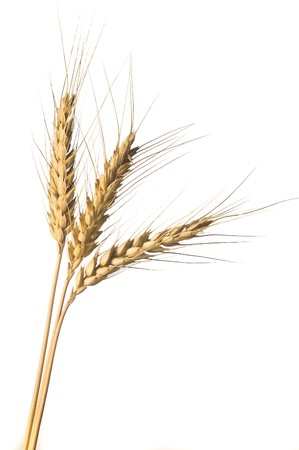 Isolated Golden wheat ear after the harvest photo
