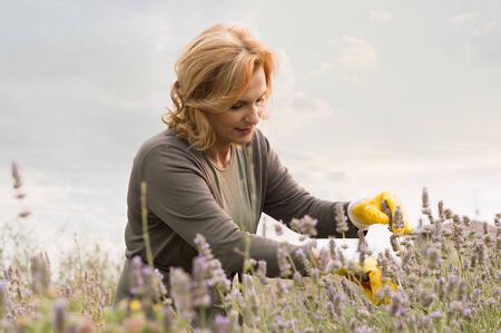 ciruela pasa: Mujer jardinero maduro Trabajo En Campo de la lavanda
