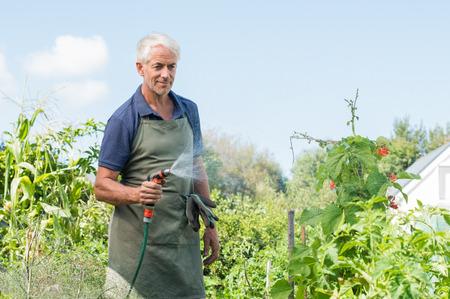 Senior man watering tomato plants in his vegetable garden. Retired gardener watering the garden with hose. Happy older man gardening.