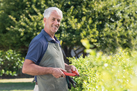 bush trimming: Senior gardener with apron trimming hedge with shears. Portrait of elderly man working in garden pruning bushes. Happy smiling mature man looking at camera in his garden.