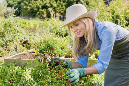Glückliche Frau in ihrem Gemüsegarten im Garten. Ältere Frau sammeln Hot Chili Peppers in den Garten. Recht ältere Frau Gartenarbeit mit Liebe.
