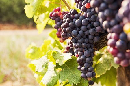 Vine and bunch of black grapes in a field. Bunches of red grapes growing on a vine. Close up of vineyard with ripe grapes at sunset. Beautiful red grapes ready for harvest. Imagens