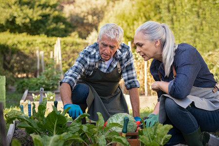 Senior man and mature woman wearing apron and picking vegetables at farm garden. Senior farmers looking at plants while picking vegetables. Worried retired couple examine plants at backyard garden during the harvest.