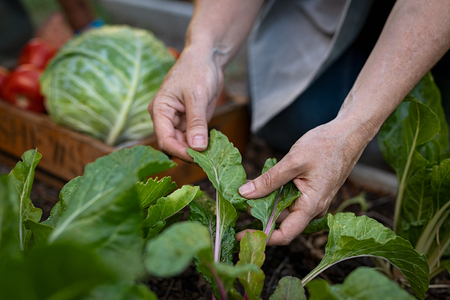 Closeup hands checking healthy of crop plant by hand at farm field. Senior woman picking vegetable from backyard garden. Mature woman controlling growth of vegetable plants at homestead. Banco de Imagens