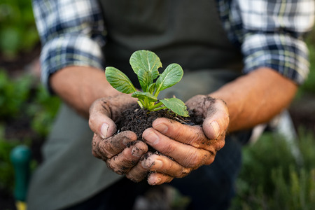 Senior man hands holding fresh green plant. Wrinkled hands holding green small plant, new life and growth concept. Seed and planting concept. Stock Photo
