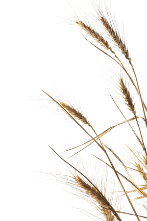 processed grains: Wheat