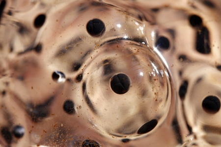 frog egg: macro photographed in natural light frog eggs Stock Photo