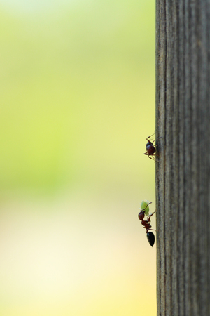 natural selection: ant carrying the macro photographed hunting in daylight Stock Photo