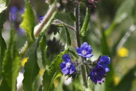 plantas medicinales: Anchusa macro fotografiado en la luz del día, las plantas medicinales