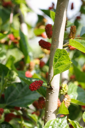 color image: daylight macro photographed branch of raspberry, color image