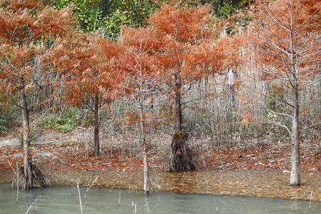 defoliation: defoliation of pine trees and lake in the fall Stock Photo