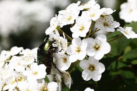 pollination: Cetonia aurata beetle with spring flowers, pollination, nature