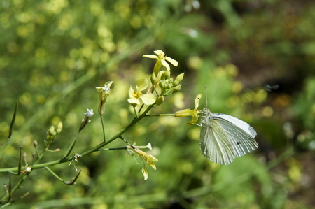 allowing: allowing the pollinated flowers of yellow and white butterfly