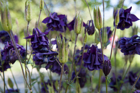 fight disease: columbine often used in therapy as a medicinal plant grown as an ornamental plant Stock Photo