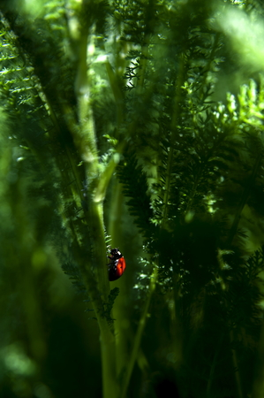 yarrow: ladybug circulating on noble yarrow plant, macro photo