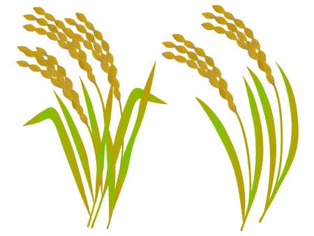 rice plant: The illustration of rice