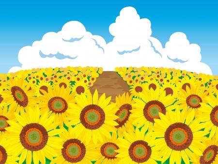 sunflower field: Scenery of a sunflower field