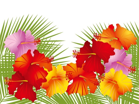 beautiful red hibiscus flower: The hibiscus of a southern island, and the illustration of a coconut
