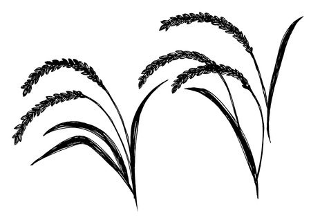 rice plant: A hand-drawn rice