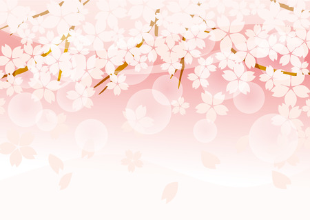 cherry blossoms: Beautiful cherry blossoms of Japan